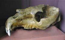 Craneo Toxodon