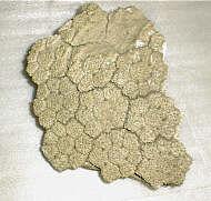 Fragmento de once placas de coraza dorsal de Glyptodon clavipes